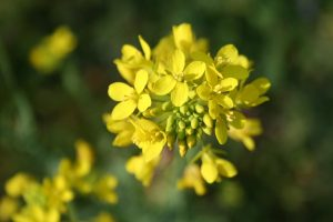 Khoobkala herb for typhoid